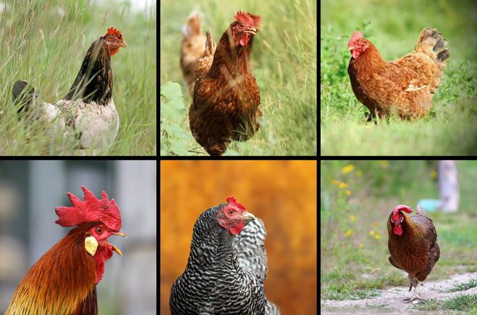 Deine Tierwelt Hühner